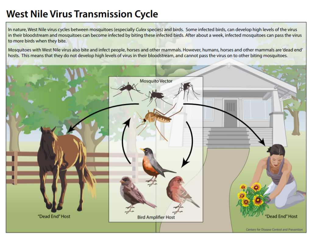Illustration of the ways West Nile virus is spread