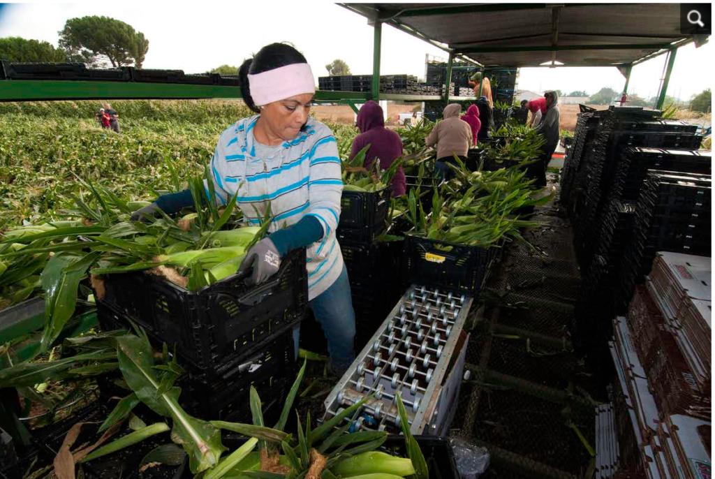 California farmworker harvesting grapes in California