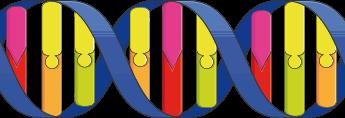 Schematic of DNA double helix